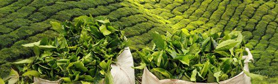 Organik Çayın Diğer Çaylardan Farkı Nedir?